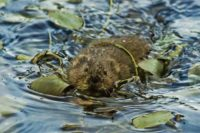 Water vole © J. Dickson