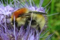 Moss carder bumblebee © Bumblebee Conservation Trust
