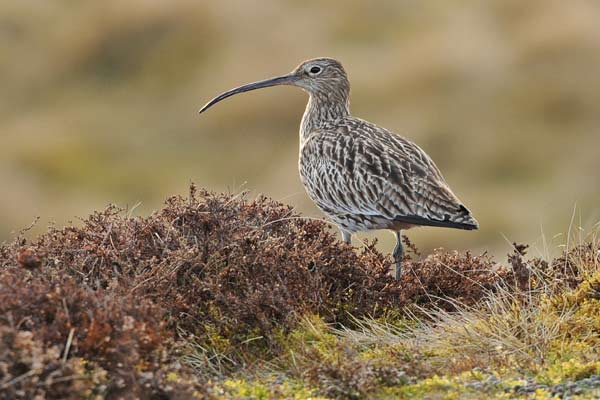 Image of a curlew in heather