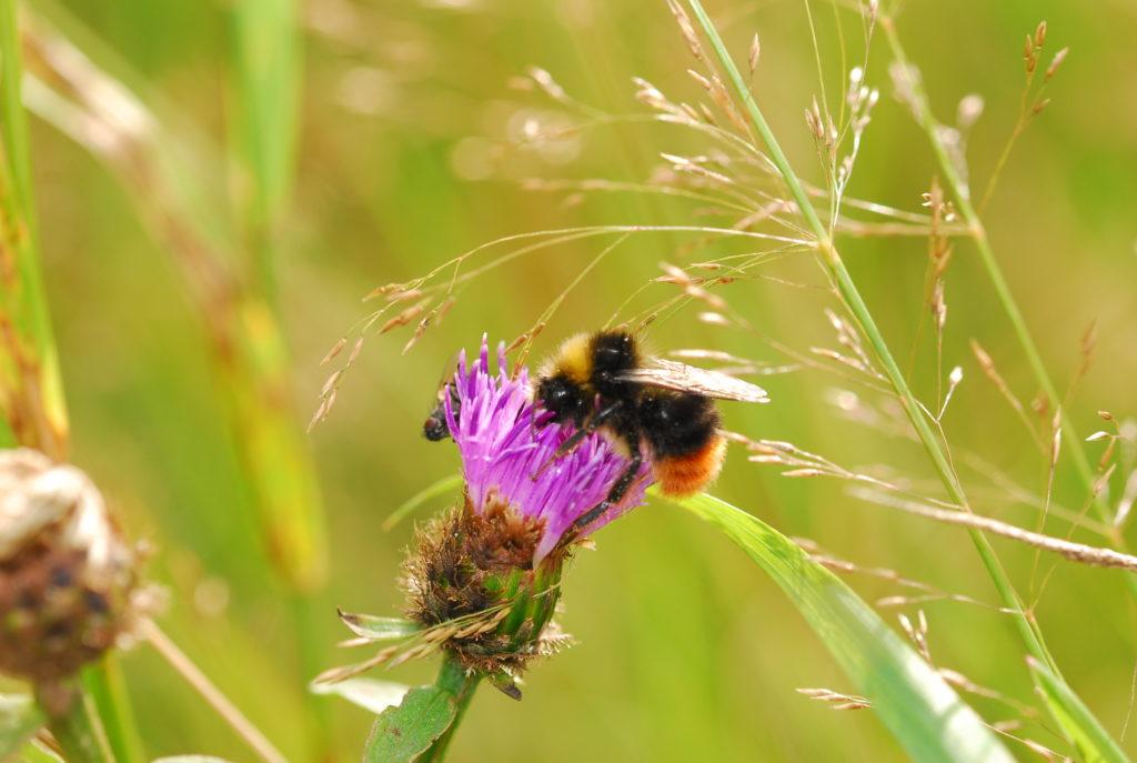 Teesdale Bumblebee Survey 2010 image