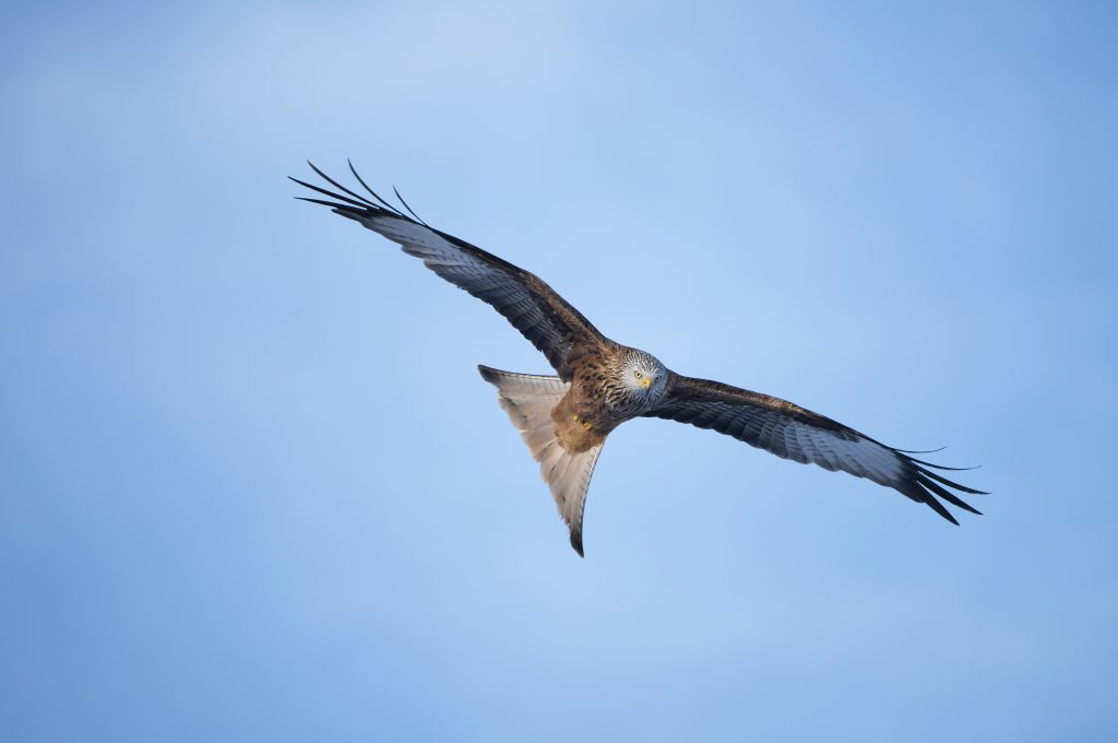 Red kite disappears - appeal for information image