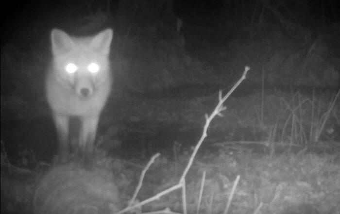 Fox (c) Guy Broome