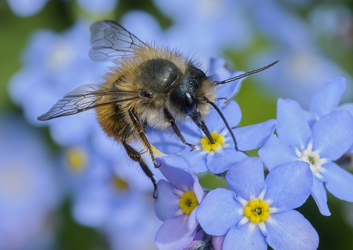 Image of red mason bee on flowers
