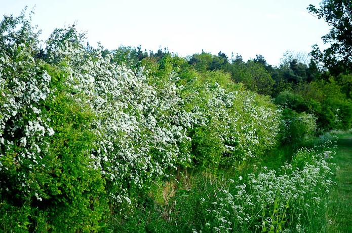 Picture of hedgerow with white flowers