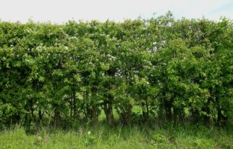 Picture of hedge in leaf