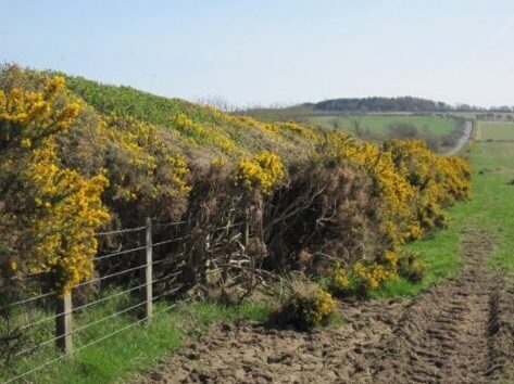 Picture of gorse hedge with yellow flowers
