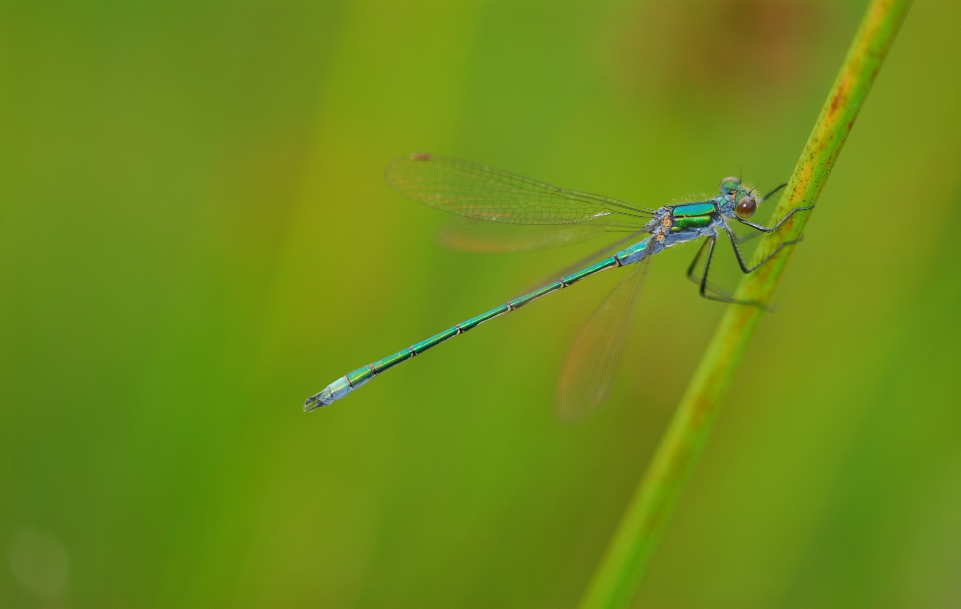 Picture of blue damsel fly holding onto a green stem