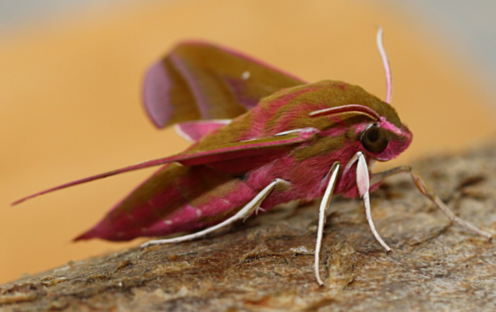 Picture of elephant hawk moth